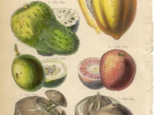 Fruits and Nuts, plate XXXIX  by Rhind