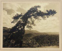 Bent Pine, NC Mountains by Bayard Wootten