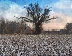 Dead Tree in a Cotton Field by Watson  Brown