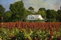 Farm House and Sorghum Field by Watson  Brown