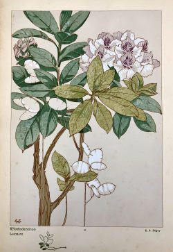 Rhododendron - Lunaire      by E.A.  Seguy (1877-1945)