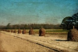 Peanut Stacks Drying in Winter Field by Watson  Brown