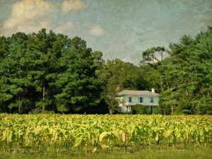 Eastern Carolina Plantations and Tobacco Fields by Watson  Brown