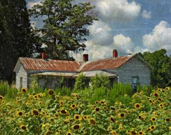 Sunflowers and Old Farm House by Watson  Brown