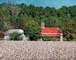 Sharecropper House and Cotton Fields  by Watson Brown