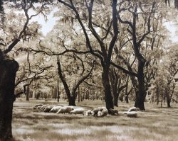 Sheep Grazing at Middleton Place by Bayard Wootten