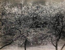 Apple Trees by Bayard Wootten