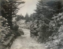 Rhododendrons, Roan Mt by Bayard Wootten