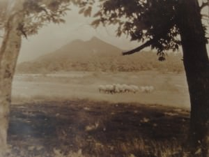 Sheep Grazing at Grandfather Mountain by Bayard Wootten